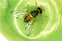 Campagna di monitoraggio della mosca delle olive 2016